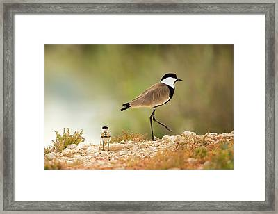 Spur-winged Lapwing Vanellus Spinosus Framed Print by Photostock-israel