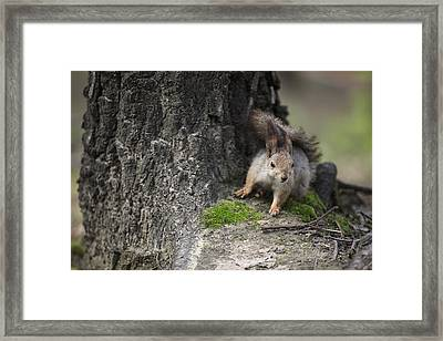 Squirrel Framed Print by Ira Gorod