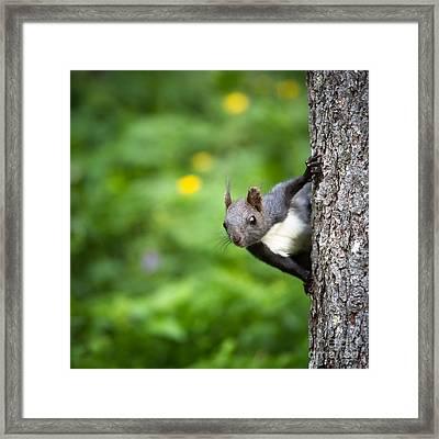 Squirrel Framed Print by Maurizio Bacciarini
