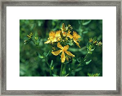 St John's Wort Flowers Framed Print by Th Foto-werbung/science Photo Library