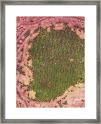 St. Louis Encephalitis Virus Particles Framed Print by Ami Images