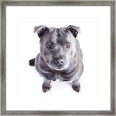 Staffordshire Bull Terrier Framed Print by Jorgo Photography - Wall Art Gallery