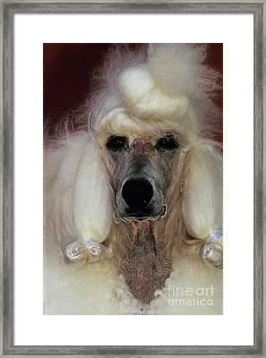 Standard Poodle Groomed For A Dog Show Framed Print