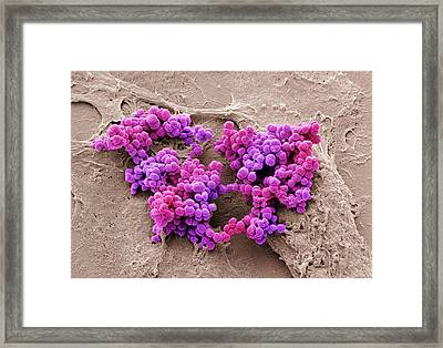 Staphylococcus Aureus Bacteria Framed Print by Steve Gschmeissner
