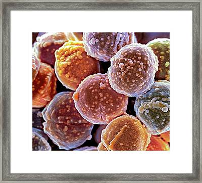 Staphylococcus Bacteria Framed Print by Science Photo Library
