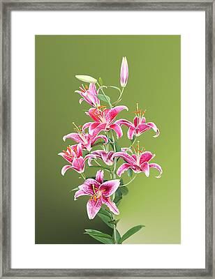 Stargazer Lilies Framed Print by Kristin Elmquist