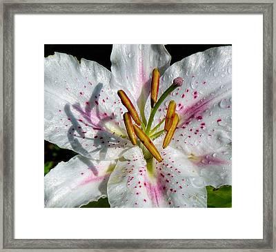 Stargazer Lily Framed Print by Lynn Bolt