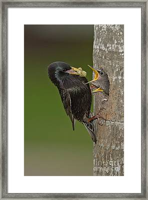 Starling And Young Framed Print