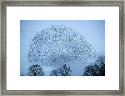 Starlings Flying To Roost Framed Print