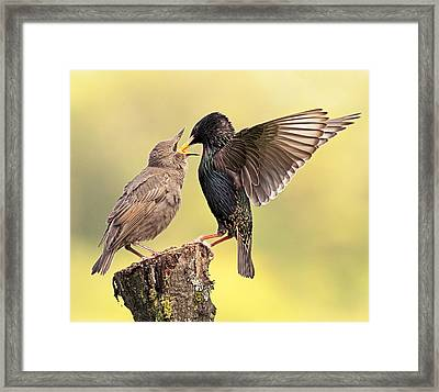 Starlings Framed Print by Grant Glendinning