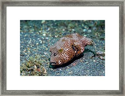 Starry Pufferfish Framed Print by Georgette Douwma