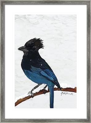 Stellar Jay Framed Print by Naomi McQuade
