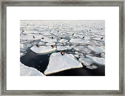 Steller's Sea Eagles On Sea Ice Framed Print
