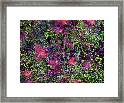 Stem Cell-derived Nerve Cells Framed Print by Science Photo Library