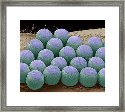 Stink Bug Eggs Framed Print by Steve Gschmeissner