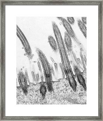 Stomach Cilia Framed Print by Marian Miller