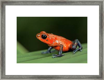 Strawberry Poison Frog Framed Print