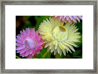 Strawflower Blossoms Framed Print