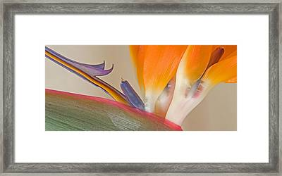 Strelitzia In Bloom, California, Usa Framed Print by Panoramic Images