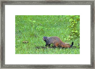 Stripe-necked Mongoose Framed Print