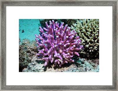 Stylophora Coral Framed Print by Georgette Douwma