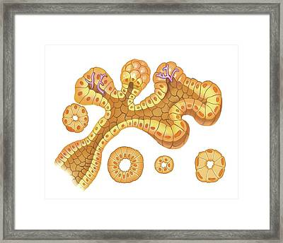 Submandibular Salivary Gland Framed Print by Asklepios Medical Atlas
