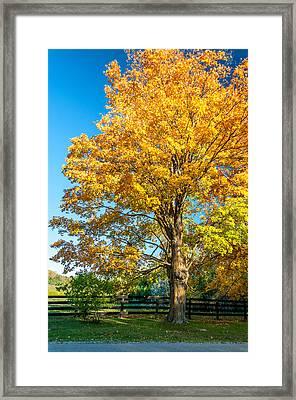 Sugar Maple 2 Framed Print by Steve Harrington