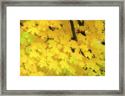 Sugar Maple (acer Saccharum) Framed Print by Maria Mosolova/science Photo Library
