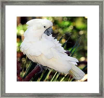 Sulfur-crested Cockatoo Framed Print by Millard H. Sharp