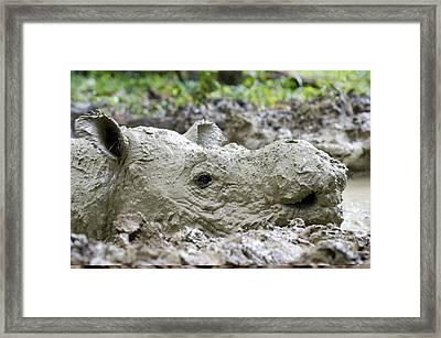 Sumatran Rhinoceros Framed Print
