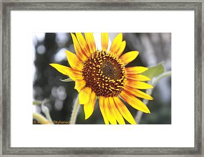 Sun Flower Framed Print by Augusta Stylianou