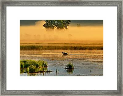 Sun Kissed Moose Framed Print by Annie Pflueger