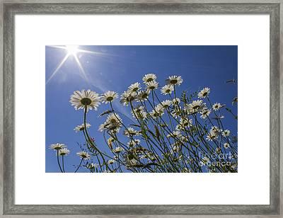Sun Lit Daisies Framed Print by Brian Roscorla