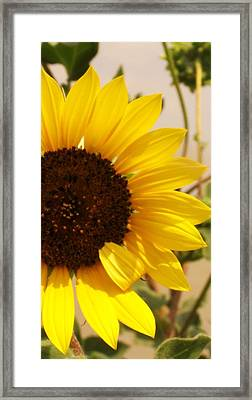 Framed Print featuring the photograph Sunflower by Diane Miller