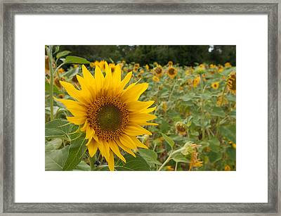 Sun Flower Fields Framed Print by Miguel Winterpacht