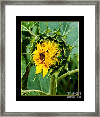 Sunflower Opening... Framed Print by ShabbyChic fine art Photography