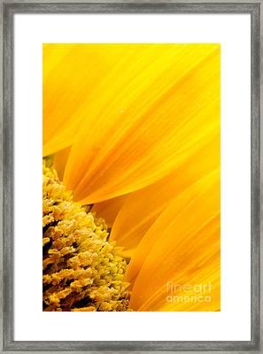 Sunflower Petals Framed Print by Mythja  Photography
