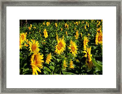 Sunflowers Helianthus Annuus Framed Print by Panoramic Images