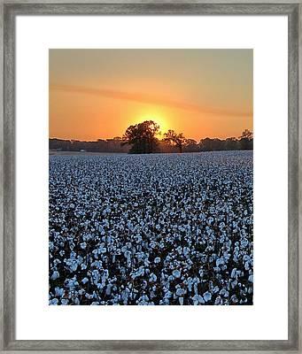 Sunset Over Cotton Framed Print