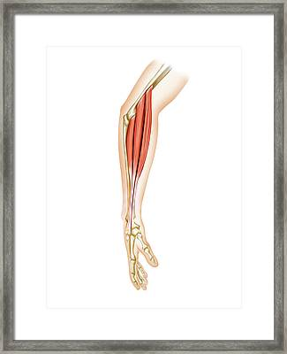 Superficial Muscles Of Forearm Framed Print by Asklepios Medical Atlas
