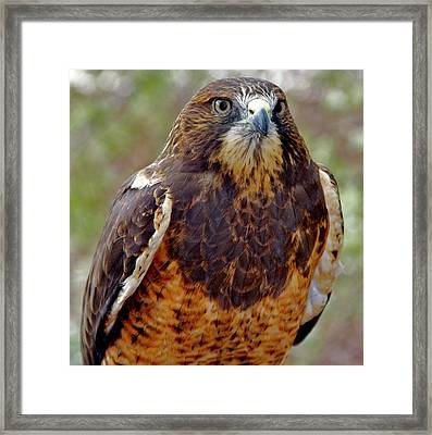 Swainson's Hawk Framed Print by Ed  Riche