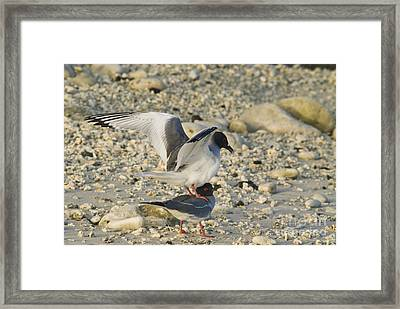 Swallow-tailed Gulls Mating Framed Print by William H. Mullins