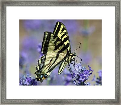 Swallowtail Butterfly Framed Print by Jack Bell