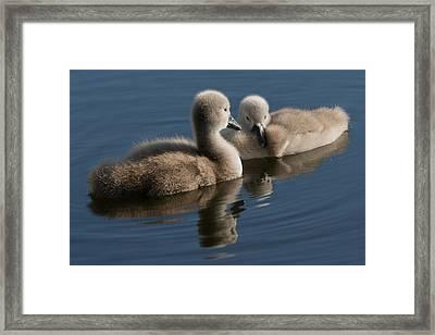 Swan Babies Framed Print