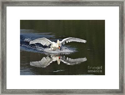 Swan Landing Framed Print by Simona Ghidini