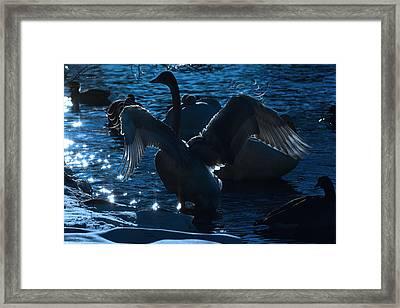 Swan Spreads Its Wings Framed Print
