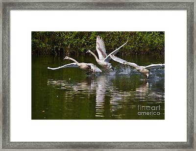 Swan Take-off Framed Print