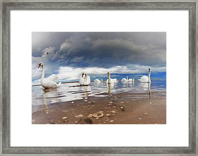 Swans Swimming In The Shallow Water Framed Print by John Short
