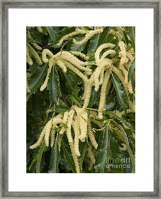 Sweet Chestnut Castanea Sativa Catkins Framed Print