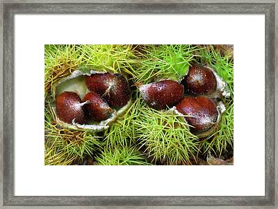 Sweet Chestnuts Framed Print by Nigel Downer